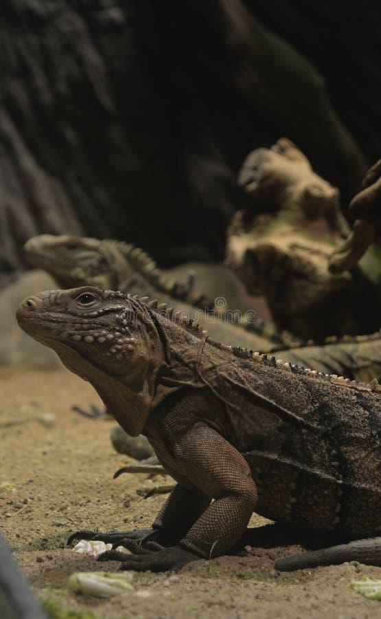 lagarto de los lagartos foto de archivo