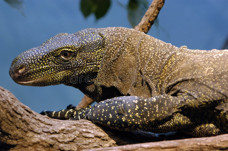 Lagarto de monitor foto de stock royalty free