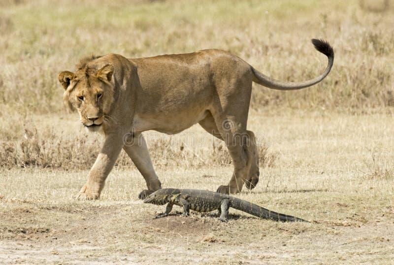 Lagarto de monitor adentro, parque nacional de Serengeti de Tanzania imágenes de archivo libres de regalías