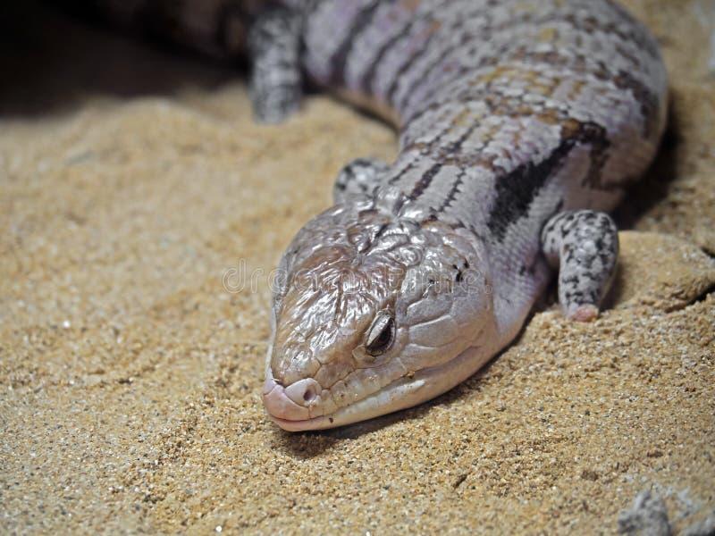 Lagarto de Skink Azul-machihembrado o de la lengua azul en la arena foto de archivo