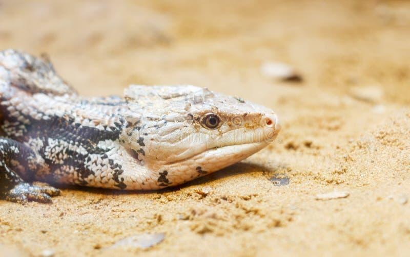 Lagarto del camaleón retile en la arena fotografía de archivo libre de regalías
