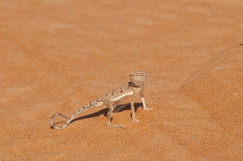 Lagarto del desierto fotografía de archivo
