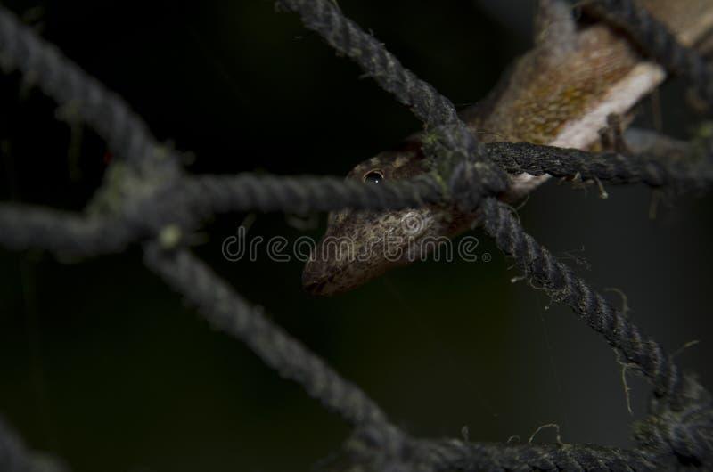 Lagarto del Gecko en la red de nylon fotos de archivo libres de regalías