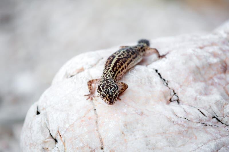 Lagarto do geco do leopardo em rochas imagem de stock