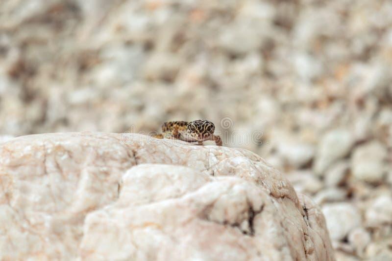 Lagarto do geco em rochas foto de stock