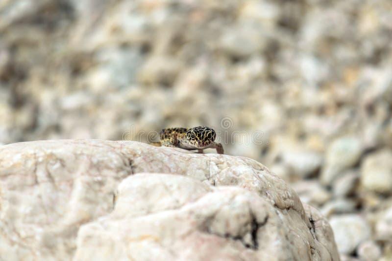 Lagarto do geco em rochas fotos de stock