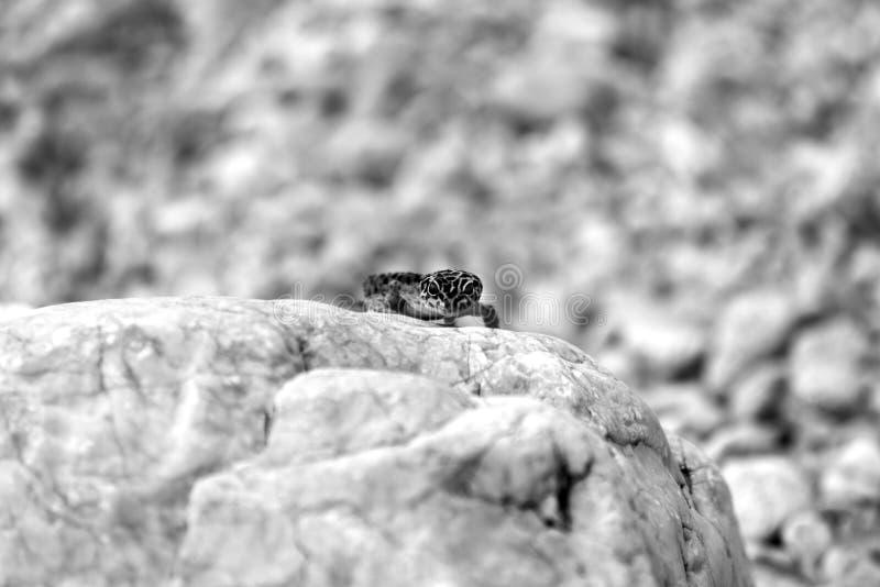 Lagarto do geco em rochas imagens de stock