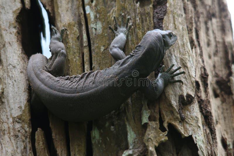 Lagarto do Varanus ou de monitor na árvore fotografia de stock royalty free