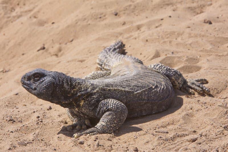 lagarto Espinoso-atado imagen de archivo libre de regalías