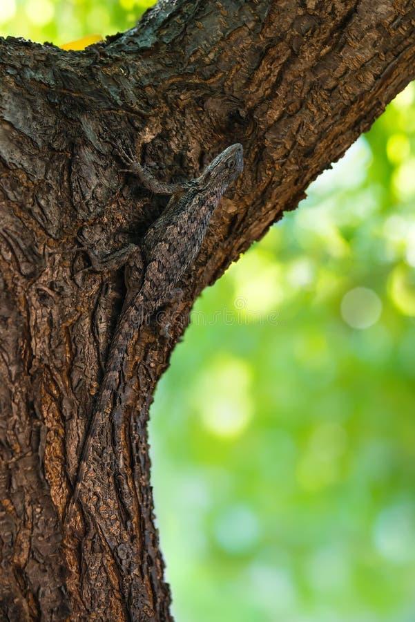 Lagarto espinoso de Tejas camuflado en corteza de árbol fotografía de archivo