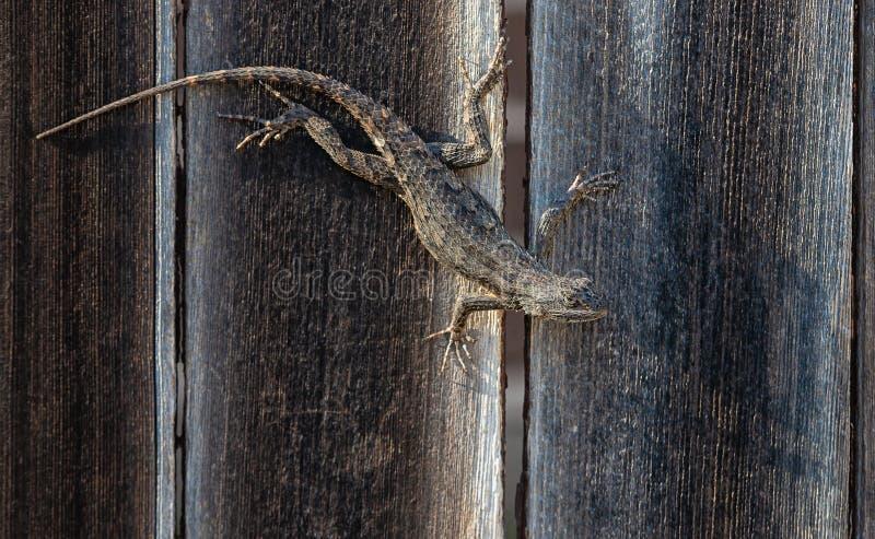 Lagarto espinoso de Tejas camuflado en la cerca de madera imagen de archivo