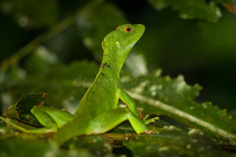 Lagarto fêmea do Basilisk fotos de stock
