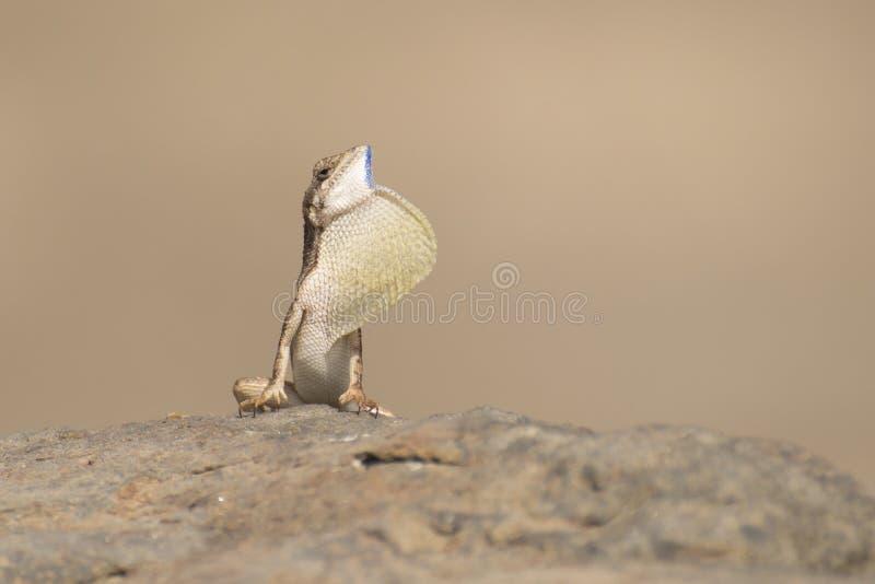 lagarto Fan-throated Espinoso-dirigido fotos de archivo libres de regalías