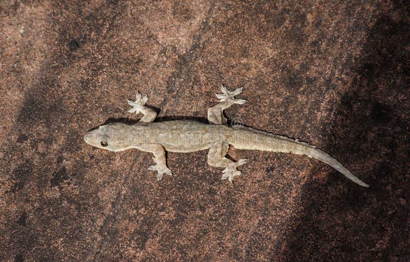 Lagarto; Figura foto de un lagarto/de un frenatus de Hemidactylus foto de archivo