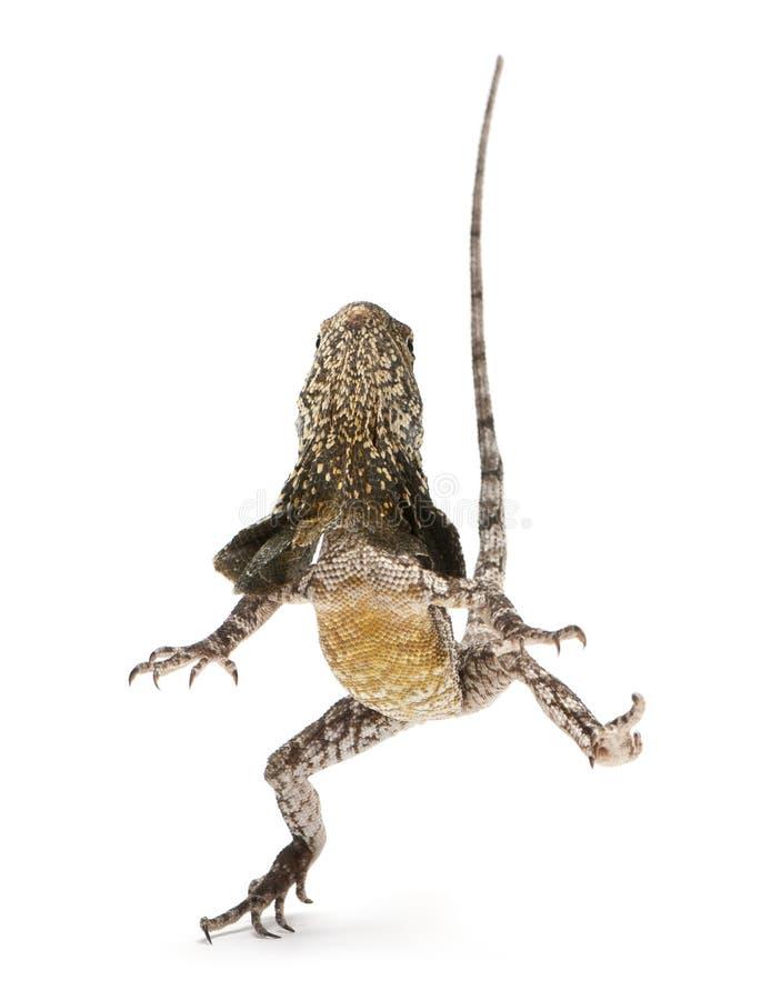 lagarto Folho-necked, igualmente conhecido como o frilled foto de stock royalty free
