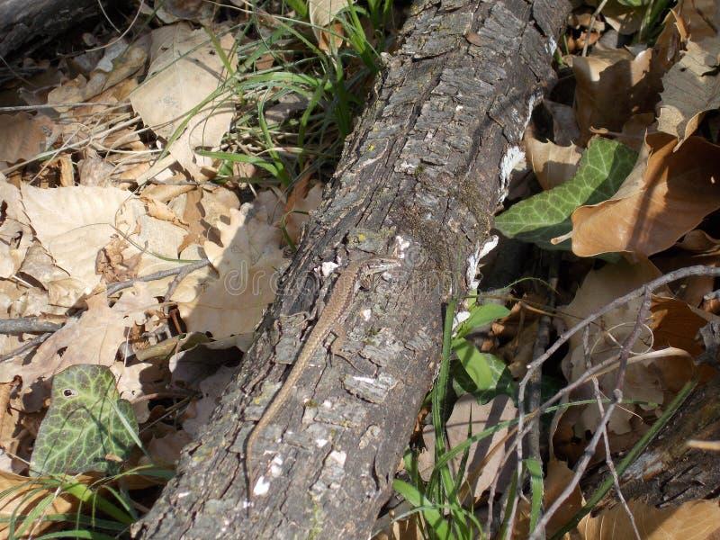 Lagarto grande que senta-se em uma madeira velha do tronco fotografia de stock royalty free
