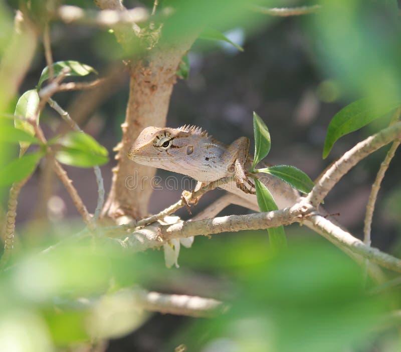 Lagarto, iguana, salamandra, Skink foto de archivo libre de regalías