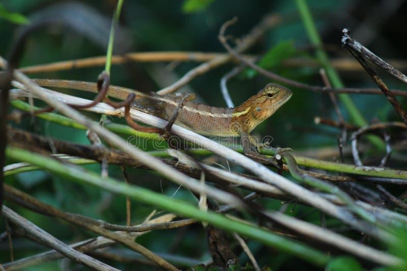 Lagarto, iguana, salamandra, Skink, Lacertilia foto de archivo libre de regalías