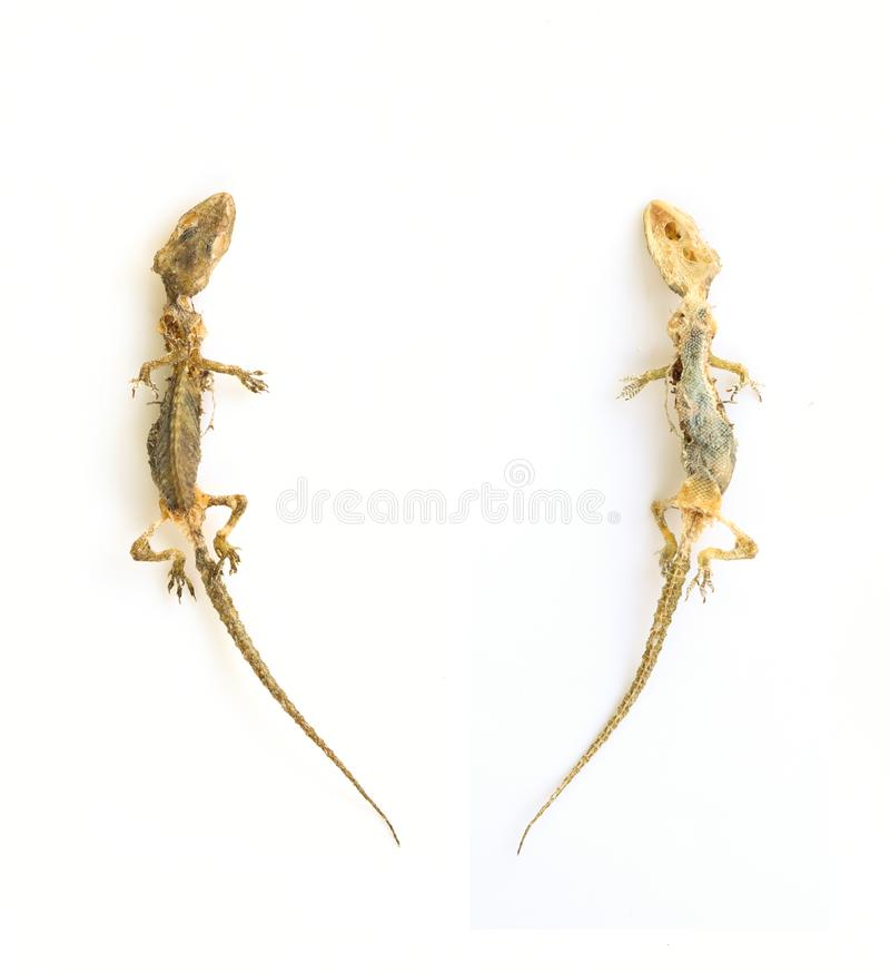 Lagarto inoperante e secado no whitebackground imagem de stock