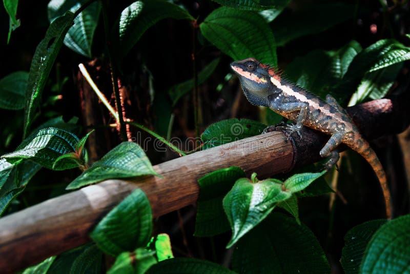 Lagarto Kin Ka Lagarto grande hermoso en la selva tropical Reptil brillante del color en el espacio crepuscular de la copia de la fotos de archivo libres de regalías