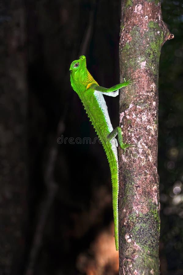 lagarto Lira-dirigido en el treе Cierre para arriba fotografía de archivo