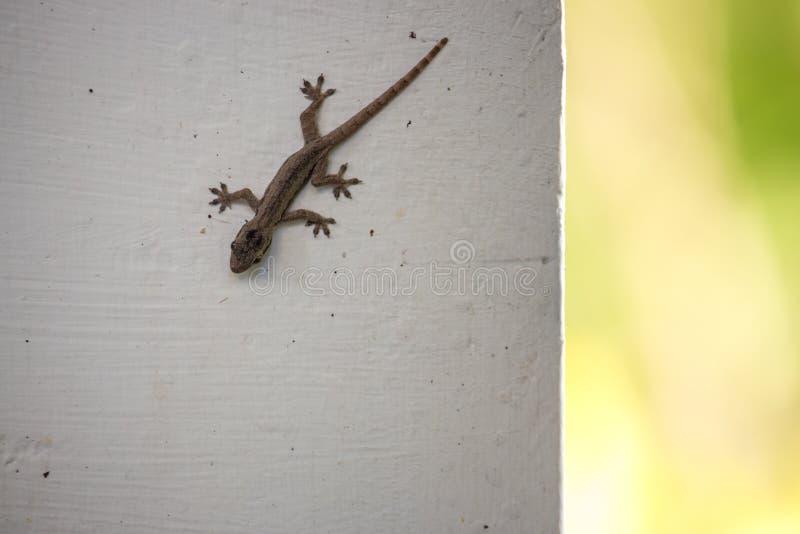 Lagarto marrom pequeno na parede branca Conceito dos animais selvagens Close up do lagarto Conceito do réptil fotografia de stock