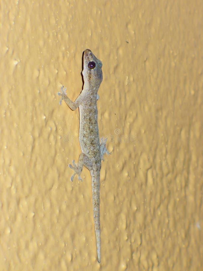Lagarto na parede, lagarto em otários imagem de stock royalty free