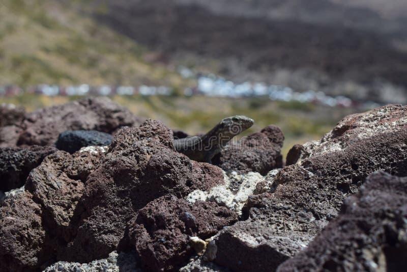 Lagarto na rocha vulcânica na Espanha de Tenerife fotografia de stock