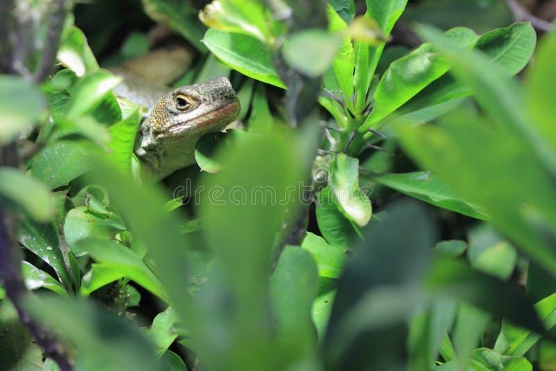 lagarto plateado Amarillo-throated fotos de archivo