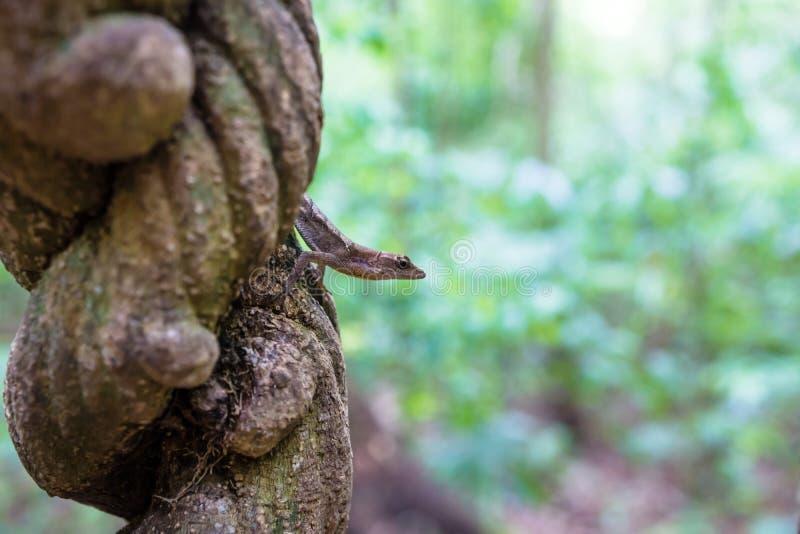 Lagarto que se sienta en una liana en la selva de Tikal, Guatemala, America Central foto de archivo libre de regalías