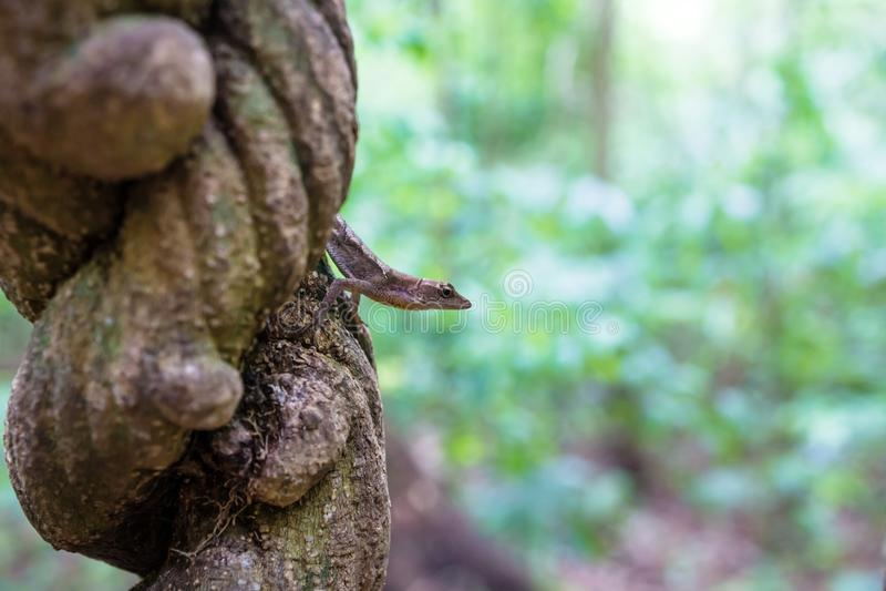 Lagarto que senta-se em uma liana na selva de Tikal, Guatemala, América Central foto de stock royalty free