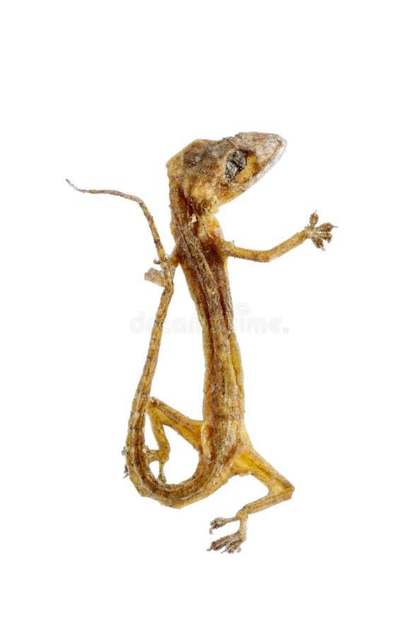 Lagarto secado de la casa - salamandra aislada en blanco fotografía de archivo libre de regalías