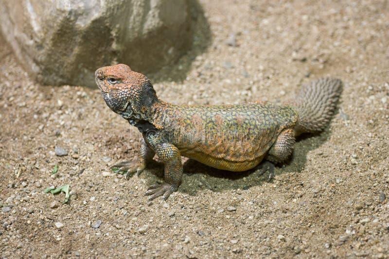 lagarto Spiny-atado (acanthinurus de Uromastyx) imagens de stock