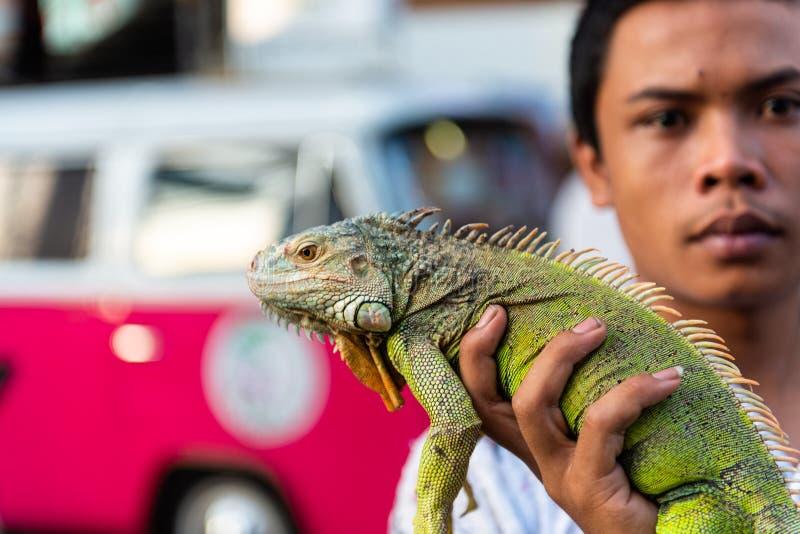 Lagarto tailandés de la iguana de la tenencia del hombre imagenes de archivo