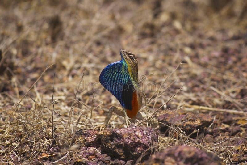Lagarto throated de la fan, SP de Sitana , Familia: Agamidae Satara, maharashtra, la India foto de archivo libre de regalías