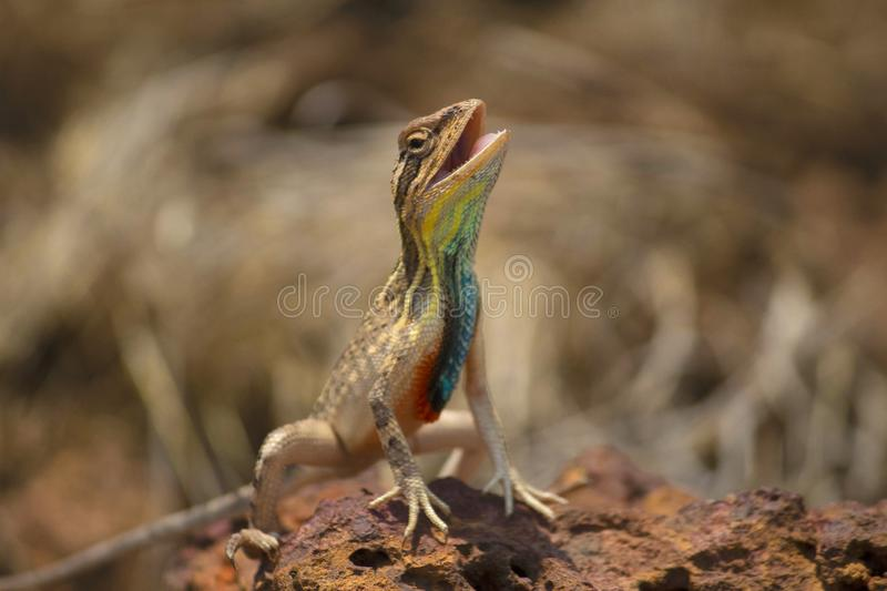 Lagarto Throated do fã, ponticeriana de Sitana, close-up, Satara, Maharashtra, Índia imagem de stock royalty free