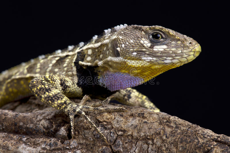 Lagarto throated roxo peruano (imitador de Stenocercus) imagem de stock royalty free