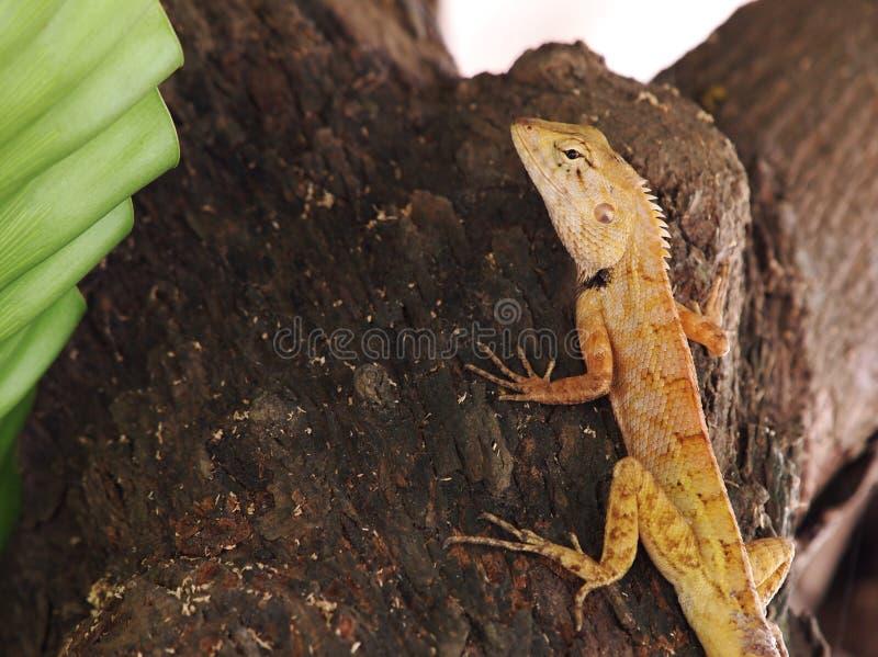 Lagarto tropical do tamanho pequeno selvagem amarelo marrom minúsculo pequeno foto de stock royalty free