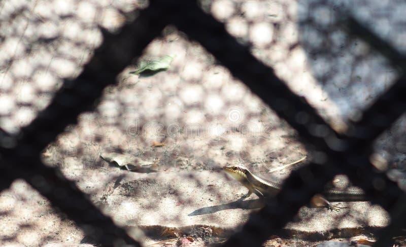 Lagarto tropical do tamanho pequeno selvagem do skink no Scincidae da família fotos de stock royalty free