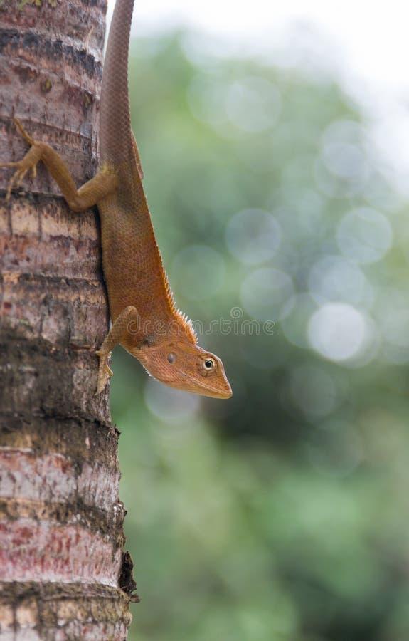 Lagarto variável, lagarto Vermelho-dirigido, vara indiana do lagarto do jardim imagem de stock royalty free