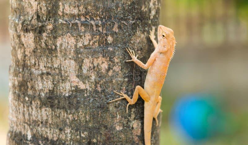 Lagarto variável, lagarto Vermelho-dirigido, vara indiana do lagarto do jardim na palmeira de Manila no jardim imagens de stock royalty free