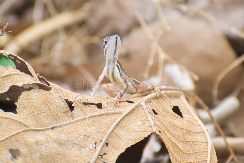 lagarto Ventilador-throated imagenes de archivo