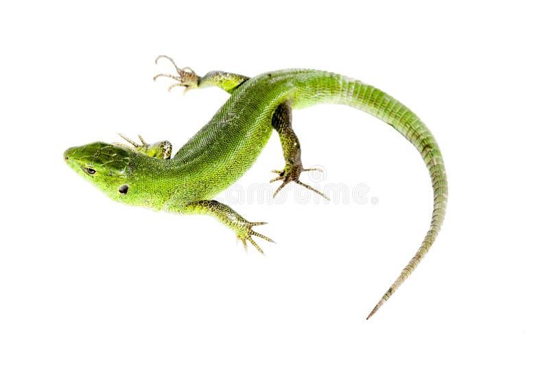 Lagarto verde fotografía de archivo