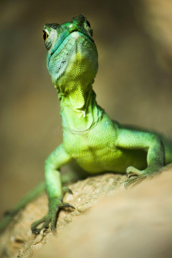 Lagarto verde colorido do basilisk fotografia de stock