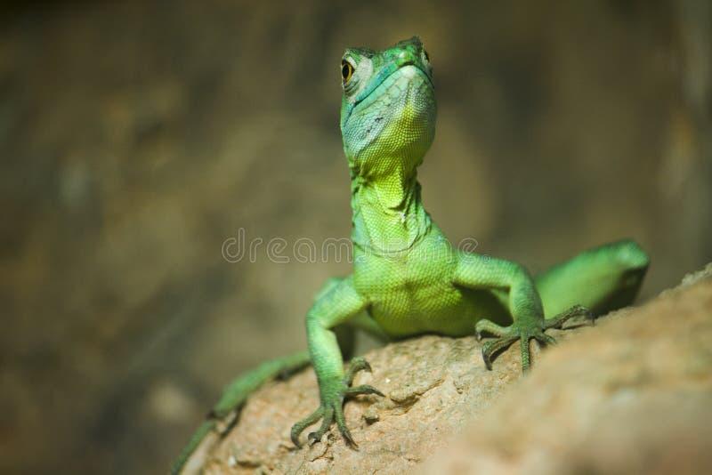 Lagarto verde colorido do basilisk foto de stock royalty free