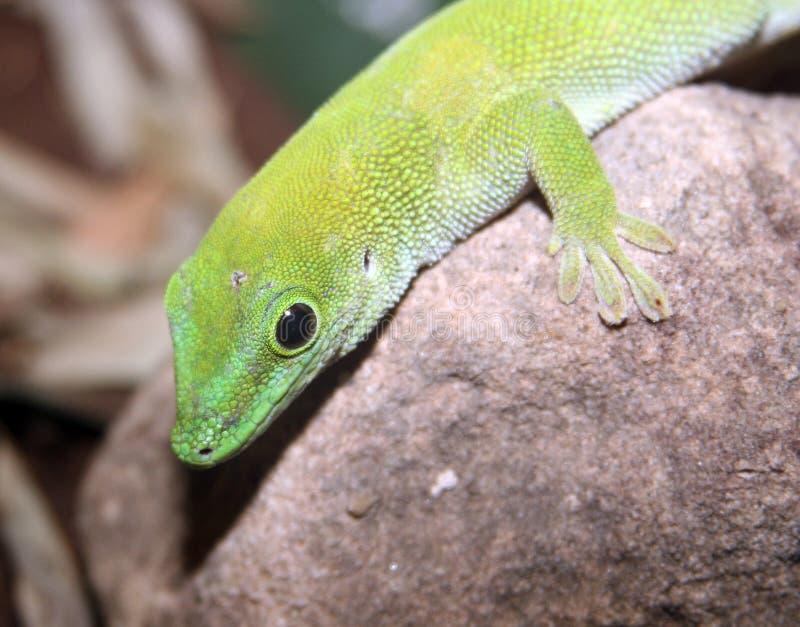 Lagarto verde del gecko fotos de archivo