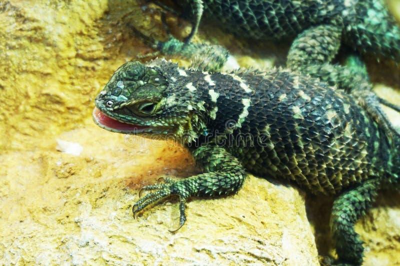 lagarto verde desconhecido fotografia de stock royalty free