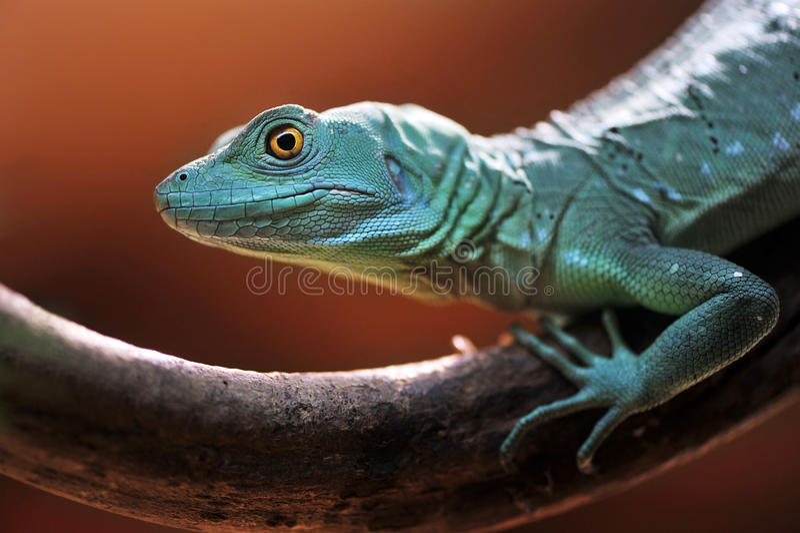 Lagarto verde do Basilisk fotografia de stock