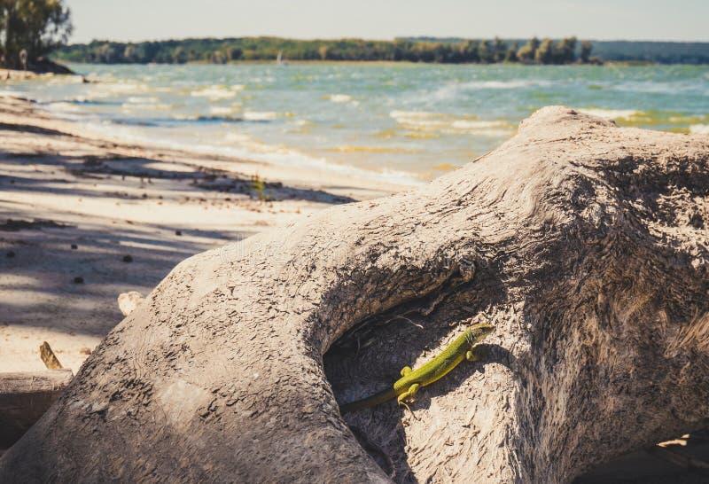 Lagarto verde en hábitat natural fotografía de archivo