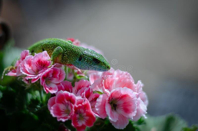 Lagarto verde en la flor imágenes de archivo libres de regalías